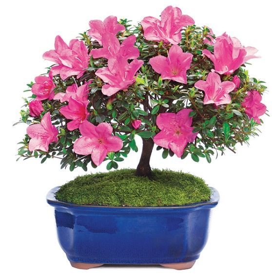 bonsai azaela