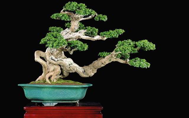harga bonsai serut
