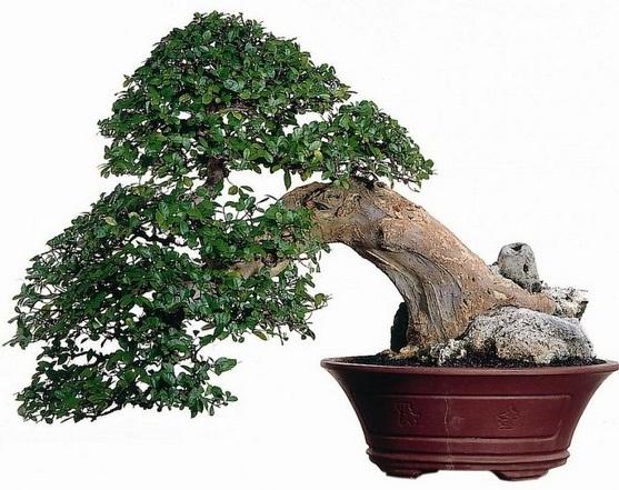 bonsai serut terbaik