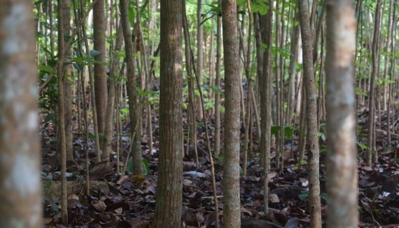 habitat-pohon-mahoni