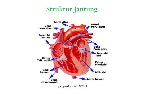 serambi jantung