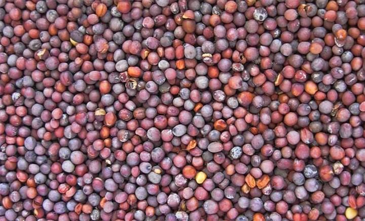 cara memilih benih sawi
