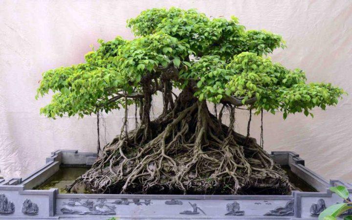 harga bonsai beringin