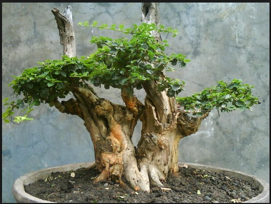 bonsai sisir