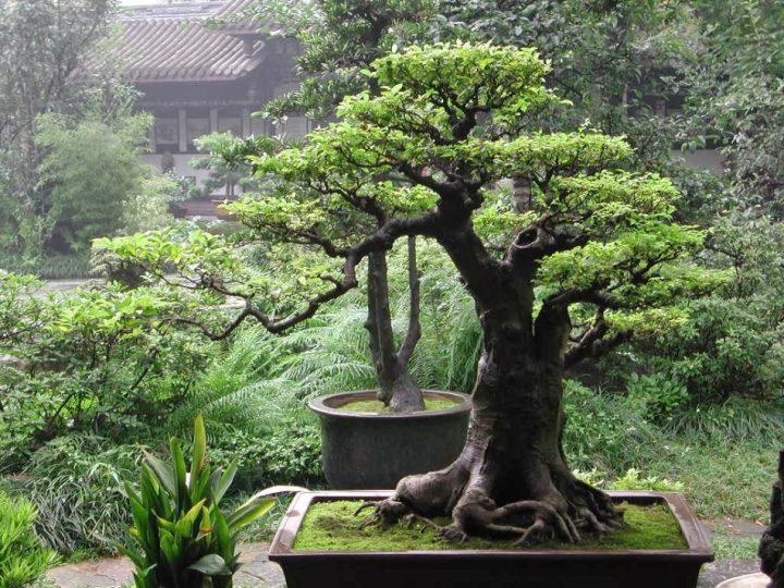 gambar bonsai beringin