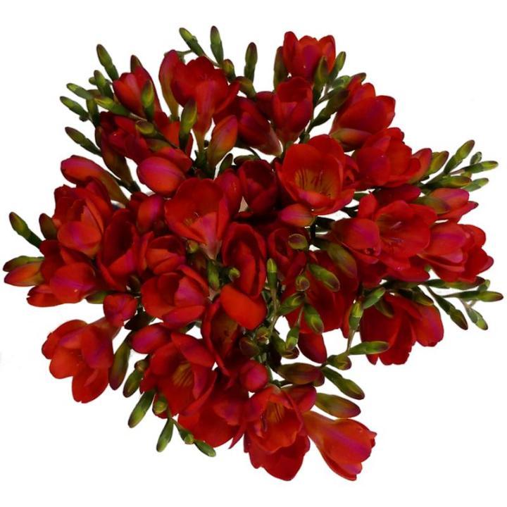 bunga freesia
