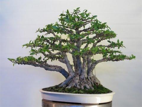 gaya bonsai kabudachi