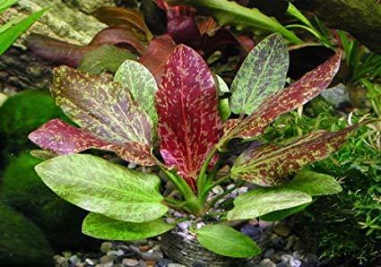 Echinodorus Red Flame