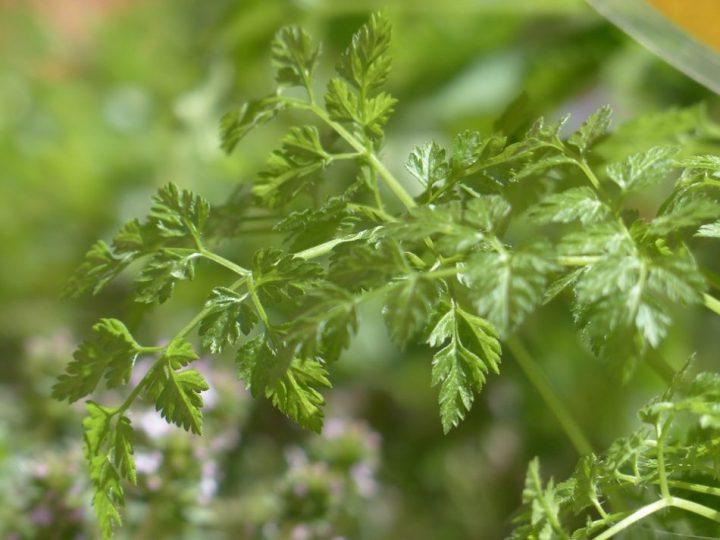 sayuran seledri