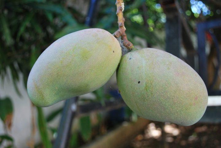 foto buah mangga