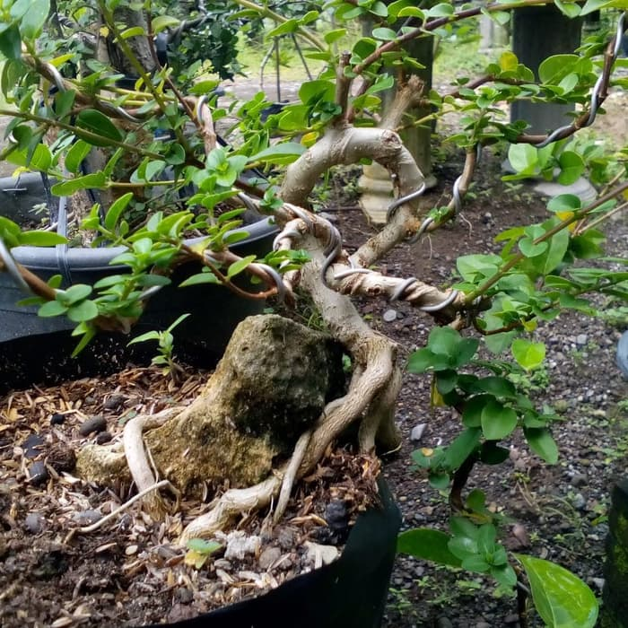 pohon sancang