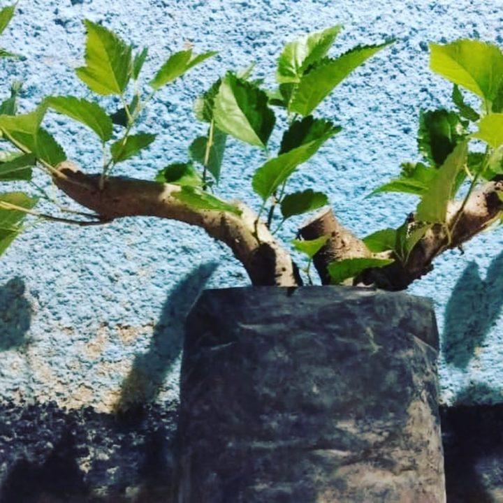 cara menanam bonsai di polybag