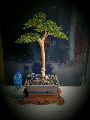Bonsai-Ilmus-Mikro.jpg