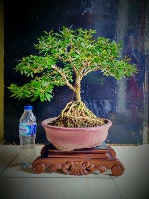 Bonsai-Saeng-Simbur-Vietnam.jpg