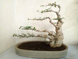 Bonsai-serut-3.jpg