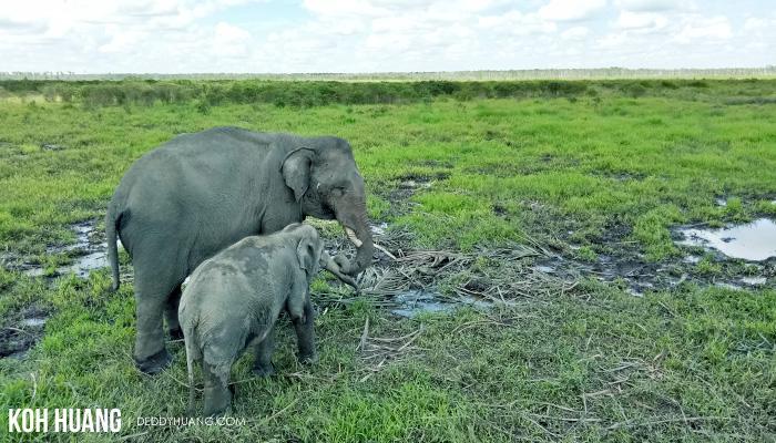 harmonisasi habitat gajah - Suaka Margasatwa Padang Sugihan, Potret Eksistensi Gajah Sumatera