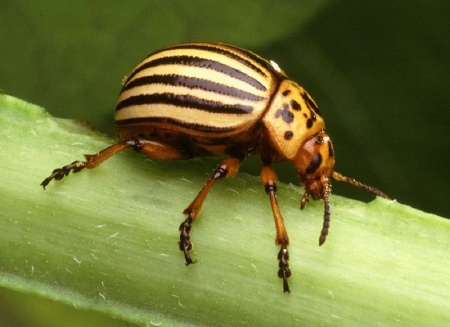 Colorado Potatoe Beetle