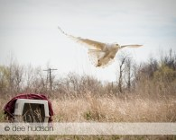 The snowy owl lifts into the air after it has been released by Willowbrook Wildlife Center.