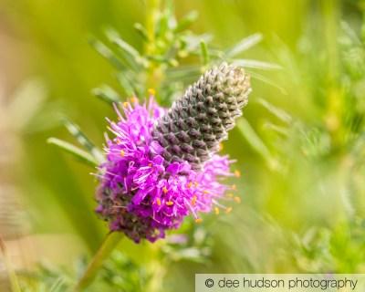 Purple Prairie Clover in bloom