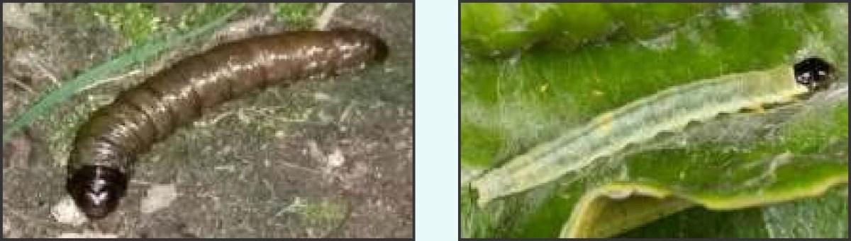 Larvae, Pupa