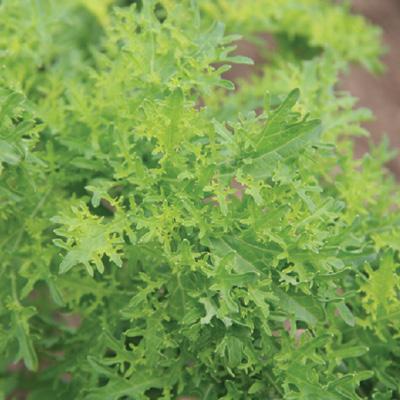 Mustard Greens Golden Frills
