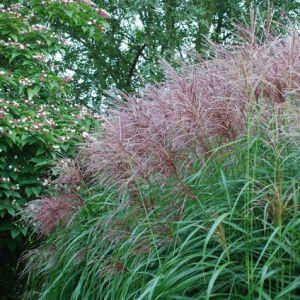 MISCANTHUS sinensis 'Ferne Osten'  (Japanese silver grass)