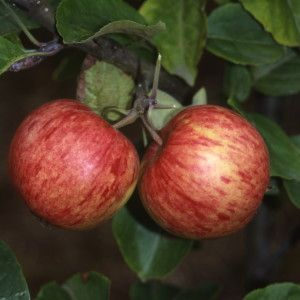 Apple 'Herefordshire Redstreak'    (Bareroot)