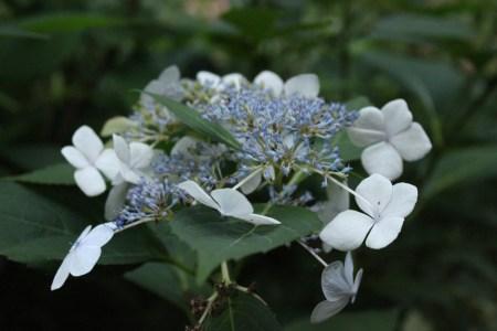 blue-hydrangea-2012