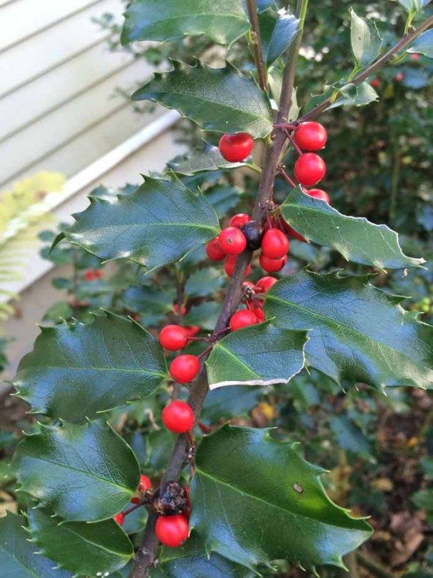 holly-berries-deemallon