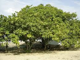 Les herbicides sont déconseillées dans l'entretien des plantations d'anacardiers