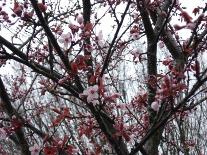 Blooming tree, Vancouver