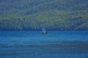Blowing killer whale from the A36 brothers in Johnstone Strait, BC.