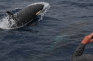 Killer_Whale_120215_2_Bremer
