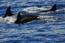 Some of the Bremer Canyon Killer Whales. ©Leila Fouda