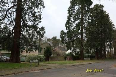 Wellingtonia - Yockley Close Feb 2016 1