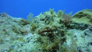 Pez Escorpión escondido en el arrecife - buceo en el mar Riviera Maya , México