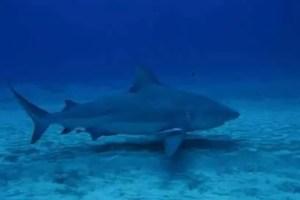 Bull sharks diving - Mexico