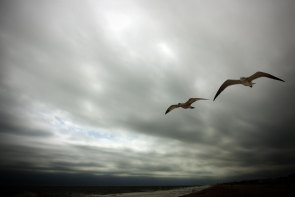 Seagulls gliding at Rehoboth Beach, Delaware