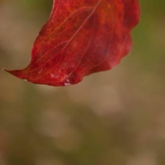 Dewy Dogwood leaf