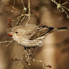 January sparrow eating dried berries from the Honeysuckle tree.