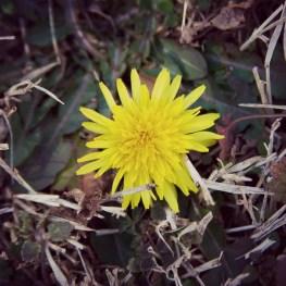 First Dandelion
