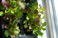 Mixed lettuce seedlings ready to plant