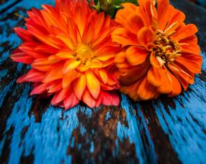 Orange Love, Summer Zinnias