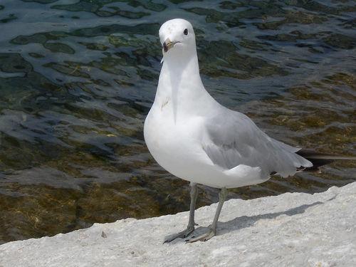 Seagull at Canatara Park in Sarnia, Ontario