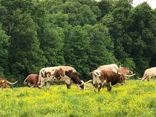 Pursell Farms Longhorns, Sylacauga AL