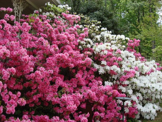 Azaleas Blooming in My Front Yard