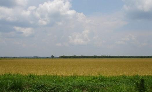 Rice Field Outside Crowley, LA