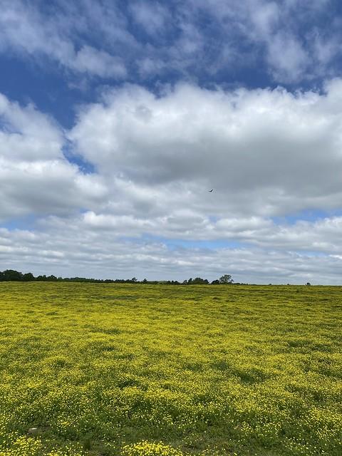 Yellow flowers in a field, Blountsville AL
