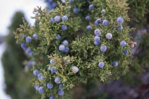 Juniper berries Photo by Max Wilbert