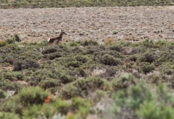 Young Pronghorn Antelope near SNWA test wells